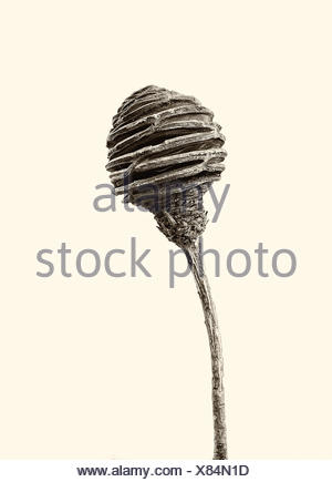 Aesthetic, dried fruit of Proteaceae in black and white, cut out in front of a neutral backround - Stock Photo