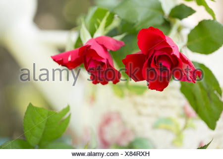 Roses with rose patterned watering can, outdoors in the garden - Stock Photo