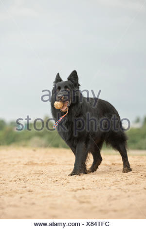 German Shepherd fetching a ball - Stock Photo