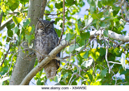 Great Horned Owl Perched on a Branch in a Tree - Stock Photo