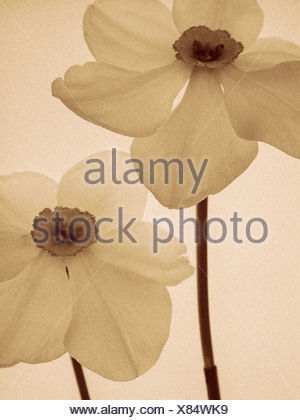 Duo tone shot of two daffodils 'narcissus' - Stock Photo