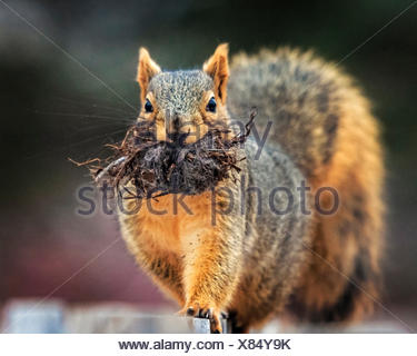 Close-up of squirrel with roots in mouth - Stock Photo