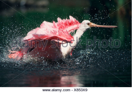 Roseate Spoonbill, bathing (Ajaja ajaja) - Stock Photo