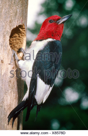 RED HEADED WOODPECKER (MELANERPES ERYTHROCEPHALUS) - Stock Photo
