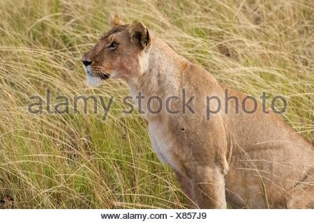 A lioness looks across the plains of the Masai Mara for prey - Stock Photo