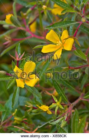 Perennial water primrose, Uruguay waterprimrose (Ludwigia grandiflora, Ludwigia uruguayensis, Jussiaea grandiflora), blooming, Germany - Stock Photo