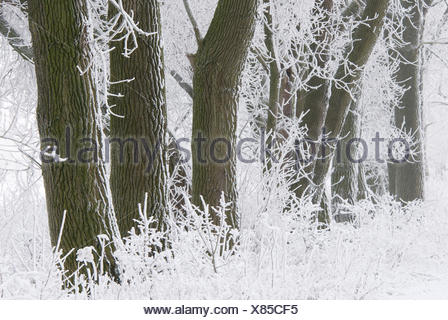 Poplars in snowy landscape covered in snow and hoar frost - Stock Photo