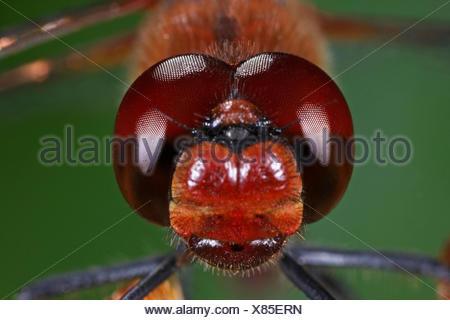 Ruddy sympetrum, Ruddy darter (Sympetrum sanguineum), portrait, front view, Germany - Stock Photo