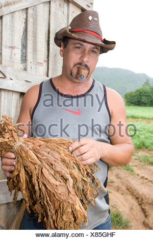 Cuban man holding dried tobacco in front of a drying-house for tobacco, Cohiba, Vinales, Cuba, Caribbean - Stock Photo