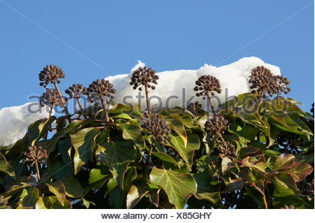 Hedera helix, Ivy, fruit with snow - Stock Photo