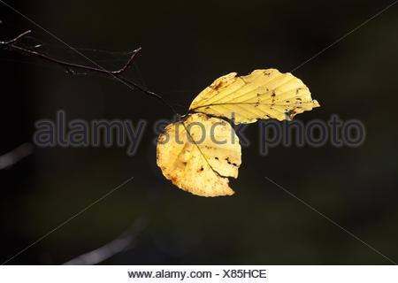 Beech ree in autumn - Stock Photo