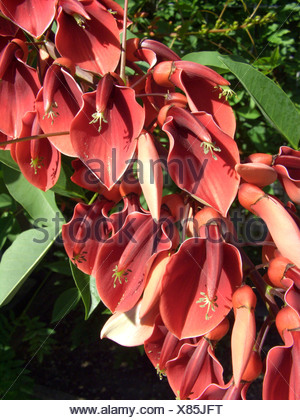 cockspur coral tree, crying baby (Erythrina crista-gallii), flowers - Stock Photo