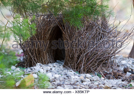 Nest of a spotted bowerbird (Chlamydera maculata), Litchfield National Park, Northern Territory, Australia - Stock Photo