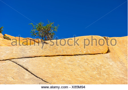 Cracks in a granite rock ledge, a young Argan (Argania spinosa) tree is growing between the cracks, Anti-Atlas Mountains - Stock Photo