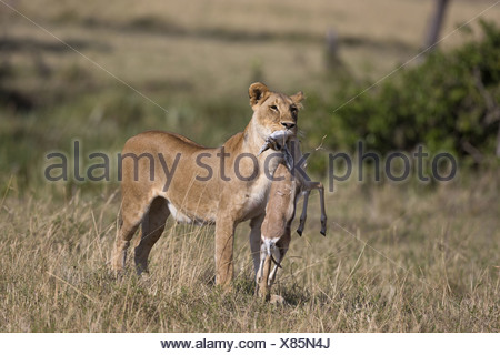 Masai Lion (Panthera leo nubica) adult female with Thomson's Gazelle (Eudorcas thomsoni) young in mouth standing in savannah - Stock Photo