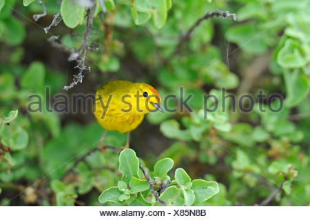 Yellow Warbler (Setophaga petechia formerly Dendroica petechia), adult, male, Española Island, Galapagos Islands - Stock Photo