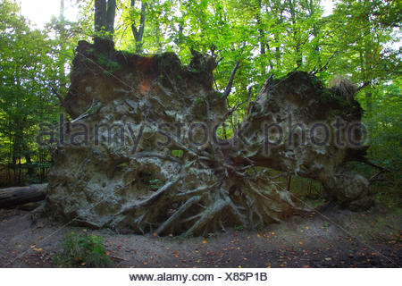 roots of an uprooted tree, Germany, North Rhine-Westphalia - Stock Photo