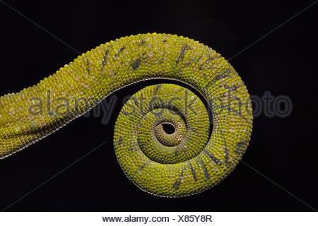 Chameleon Tail, Chamaeleo zeylanicus Laurenti, 1768. Pondicherry, Tamil Nadu, India. - Stock Photo