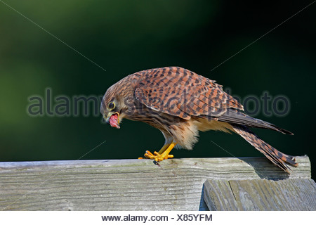 common kestrel (Falco tinnunculus), female with prey, Germany, North Rhine-Westphalia - Stock Photo
