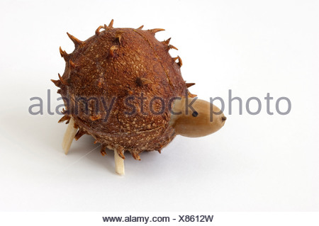 Animal figure hedgehog made of chestnut hulk an acorn Studio picture against white background - Stock Photo