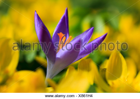 Flower, flowers, blossom, flourish, Crocus, detail, flora, spring, spring flower, complementary color, macro, close-up, plant, i - Stock Photo