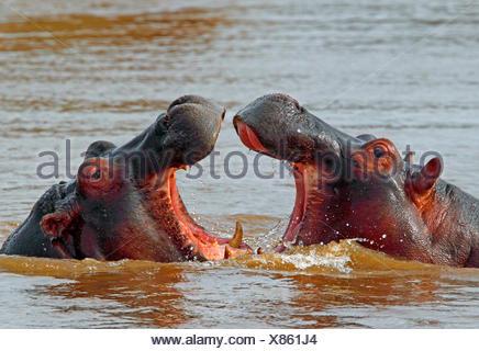 hippopotamus, hippo, Common hippopotamus (Hippopotamus amphibius), fighting hippos in water, Kenya, Masai Mara National Park - Stock Photo