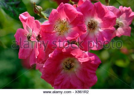Rosa America Pillar deep pink flowers on a rambling climbing rose - Stock Photo
