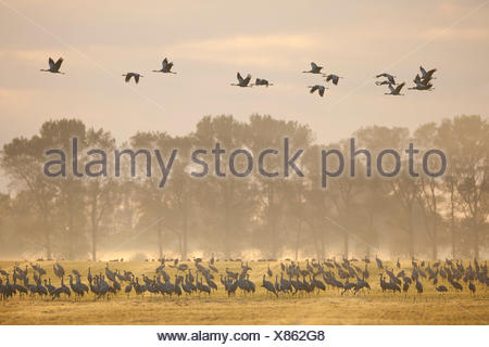 Common Cranes (Grus grus), on a field foraging in the early morning, Mecklenburg-Western Pomerania, Germany - Stock Photo