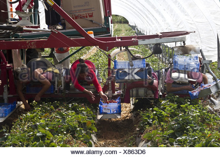 Mechanised strawberry picker 10 people picking - Stock Photo