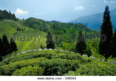 Lush green tea gardens near Mirik Darjeeling West Bengal India Stock ...