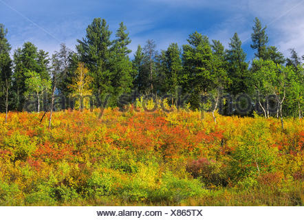 edge of forest in autumn color near Prince Albert Saskatchewan Canada - Stock Photo