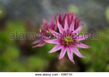 Cobweb houseleek (Sempervivum arachnoideum), flower, Hochgebirgs-Naturpark Zillertaler Alpen national park, Ginzling, Zillertal - Stock Photo