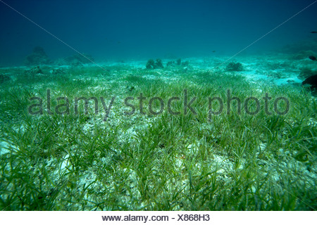 Sea bottoms covered with sea grass in shallow water. - Stock Photo
