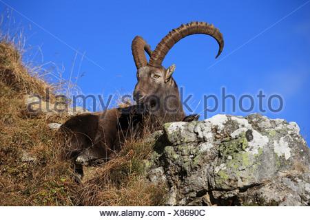 Ibex Capra ibex Ibex Male Niederhorn Bernese Oberland Canton of Berne Bern Switzerland Alps Alpine Fauna Mountains Fauna Autumn - Stock Photo