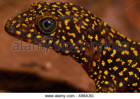 Portrait of Annulated Gecko - Mountain Kaw French Guiana - Stock Photo