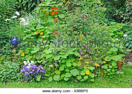 Flower bed of perennials with nasturtium tropaeolum garden stock flower bed of perennials with nasturtium tropaeolum garden gelsenkirchen north rhine mightylinksfo