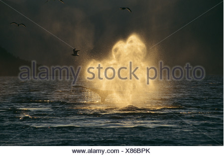 Humpback Whale blowing, Tenakee Inlet, South East Alaska - Stock Photo