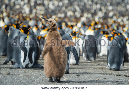 King penguin, Aptenodytes patagonicus, chick stands out in a crowd. - Stock Photo