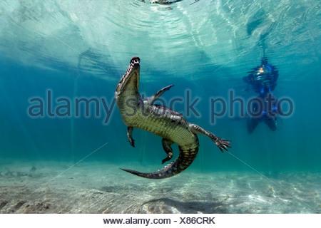 Skin-Diver watching swimming Saltwater Crocodile or Estuarine Crocodile or Indo-Pacific Crocodile (Crocodylus porosus) - Stock Photo