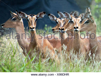 Red Impalas running, South Africa - Stock Photo