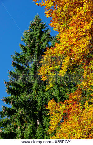 Booking forks with leaves in autumn colours in front of spruce, Leutaschtal, Tyrol - Stock Photo