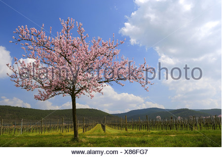 Almond (Prunus dulcis, Prunus amygdalus, Amygdalus communis, Amygdalus dulcis), Blooming almond tree in early spring, Germany, Rhineland-Palatinate, Gimmeldingen - Stock Photo