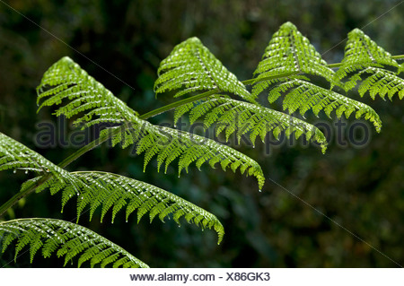 Fern frond, Tandayapa region, Andean cloud forest, Ecuador, South America - Stock Photo