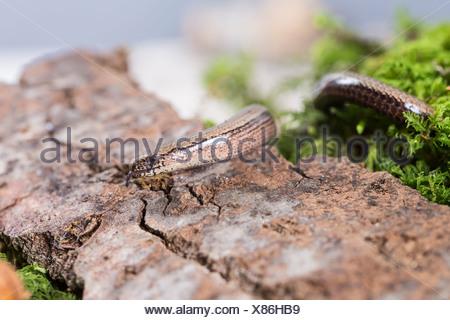 Blindworm (Anguis fragilis) on stone, studio shot - Stock Photo