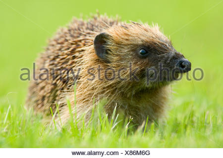 Curious hedgehog in the grass - Stock Photo