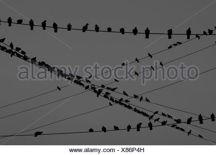 Silhouette Flock Of Birds Perching On Cables Against Sky - Stock Photo