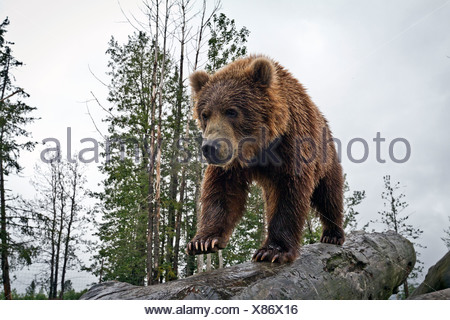 CAPTIVE: Male Kodiak Brown bear walks down a log, Alaska Wildlife Conservation Center, Southcentral Alaska, Summer - Stock Photo