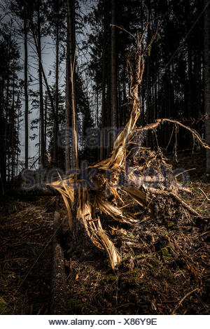 Germany, Bavaria, tree stumps of spruces after  storm front 'Niklas' - Stock Photo