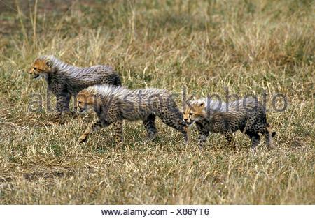 CHEETAH acinonyx jubatus, CUB WALKING ON DRY GRASS, KENYA - Stock Photo