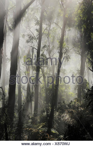 Morning fog in eucalypt forest, Great Otway National Park, Victoria, Australia. - Stock Photo